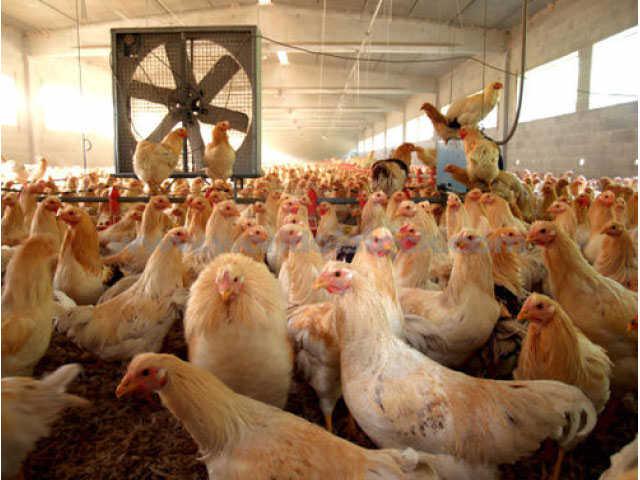 Layer Poultry Farming