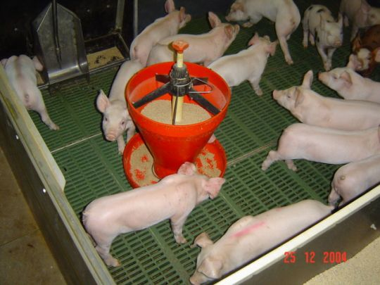Starting a Commercial Pig Farm – Sample Business Plan Template