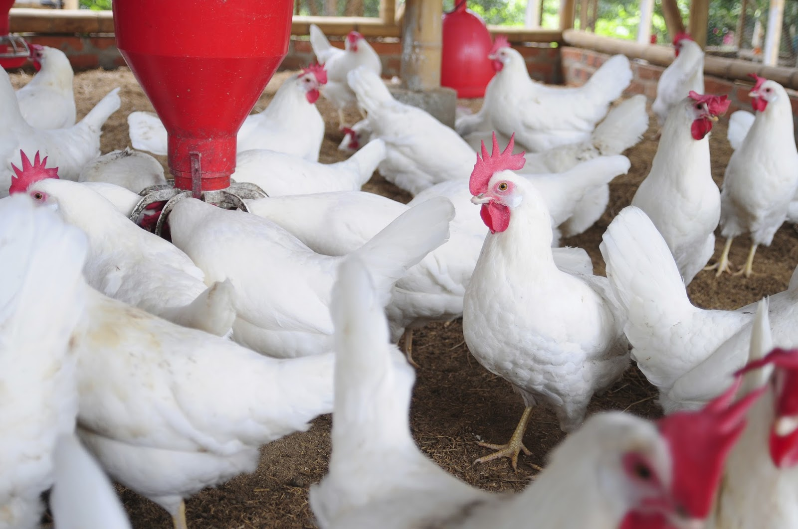 Centers of Excellence: Revolutionizing the poultry production chain in West and Central Africa